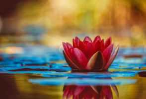 lotus flowerr